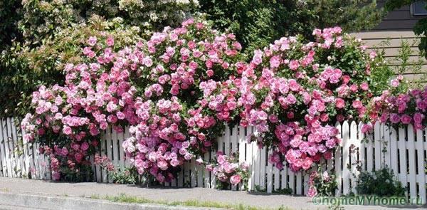 Ограждение из вьющихся роз