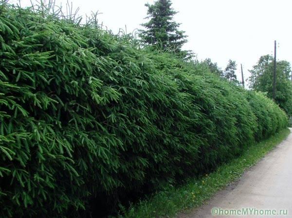 Ель служит недорогим и неприхотливым растением для оформления изгороди