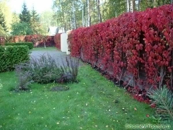 Живая изгородь из лиственных растений