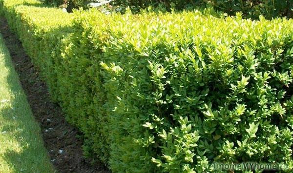 Живая изгородь из самшита вечнозеленого