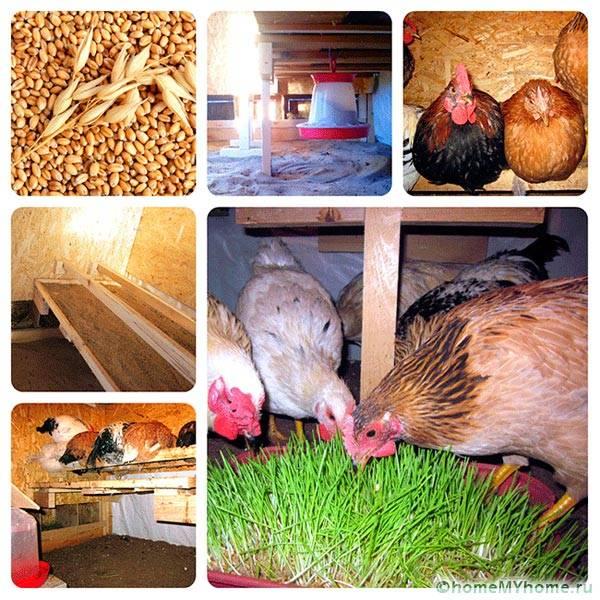 Условия жизни куриц