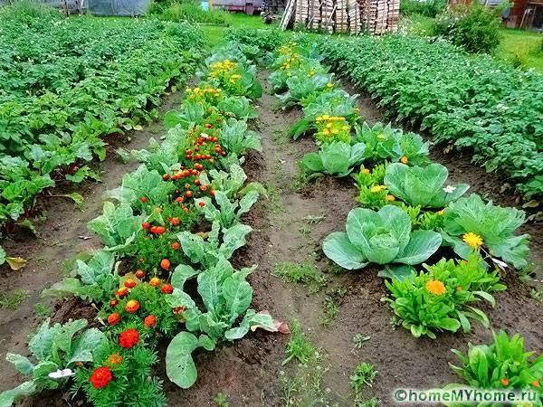 Иллюстрация экологического подхода: овощи посажены рядом с репеллентами, в этом случае опрыскивание химикатами не требуется.