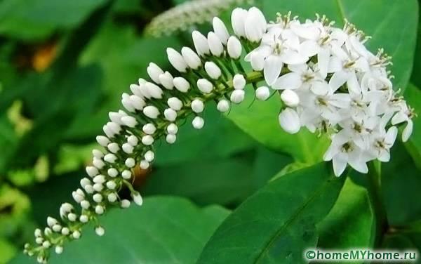 Ландышевый цветок