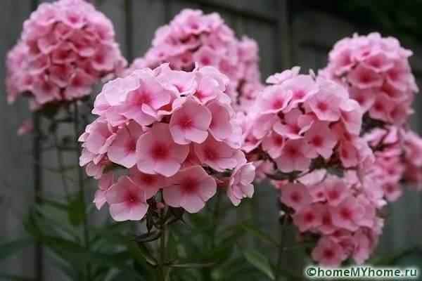 Нежно-розовый цветок