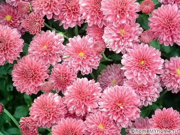 Обилие хризантем