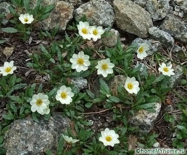 Очень красивое растение под названием Дриада