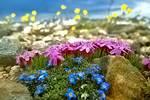 растения для альпийской горки: фото и названия