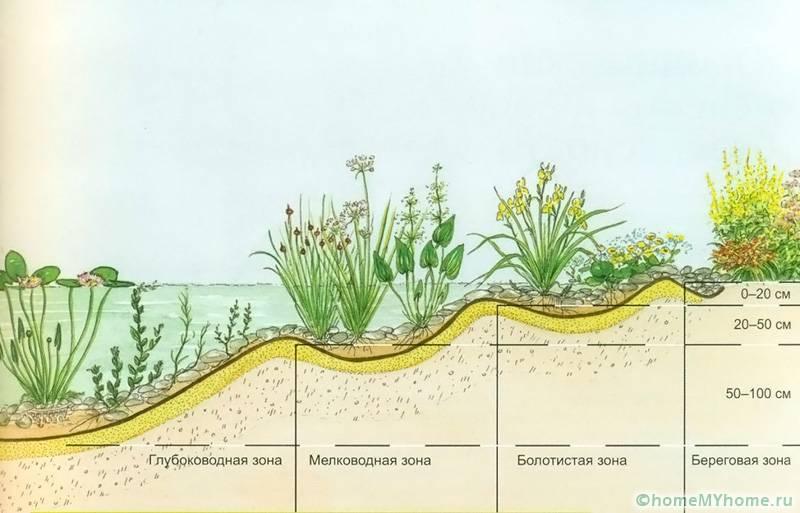 Водные растения высаживаются на разные глубины в зависимости от вида