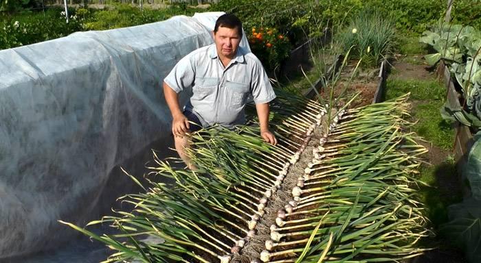 Урожай чеснока