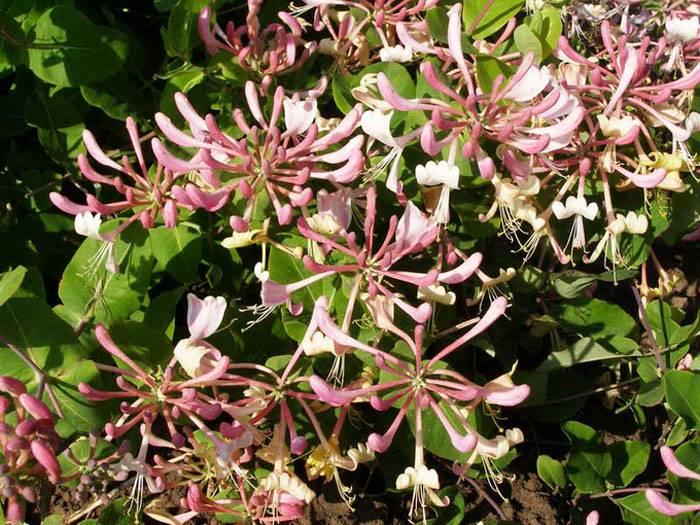 Жимолость Гекрота во время цветения