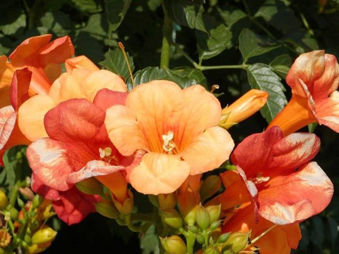 Растение в период цветения