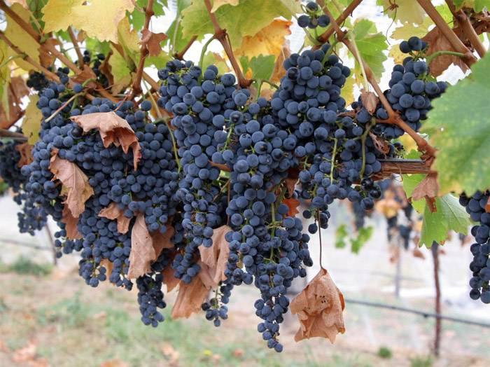 Плоды винограда осенью