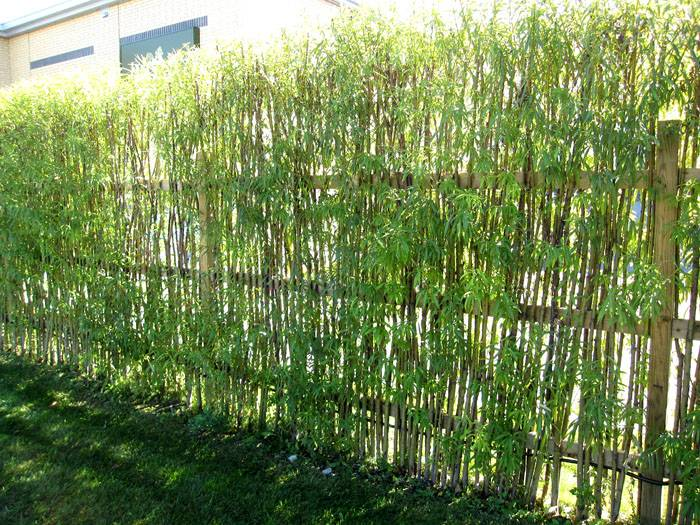 Их укореняют по линии оград, а когда молодые деревца принимаются и начинают расти, переплетают их между собой как плетень