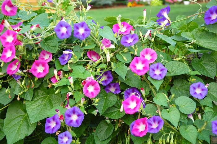 Пурпурный вариант