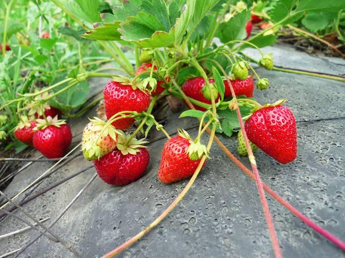 Сочную и чистую ягоду легче собрать
