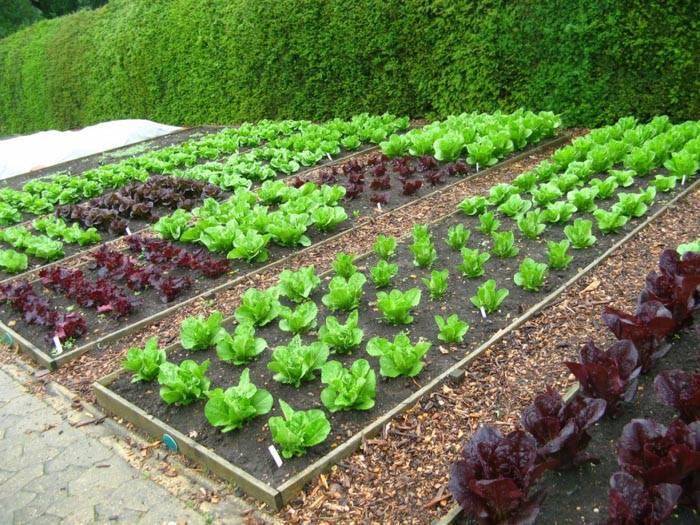 Высадка только салата (без соседствующих культур)