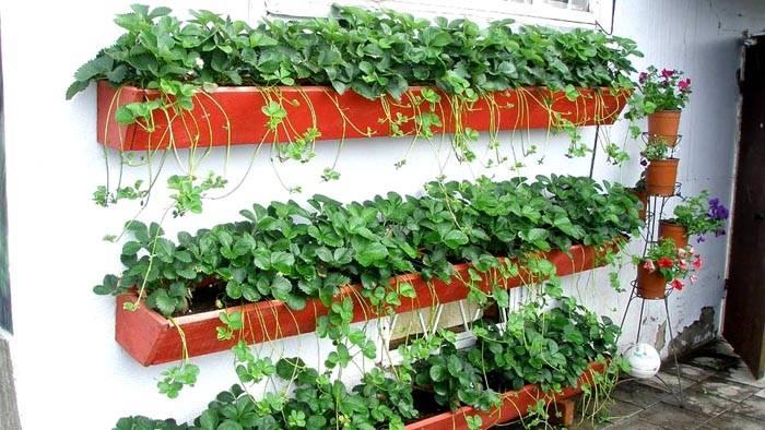 Вертикально посаженная клубника упростит сбор урожая