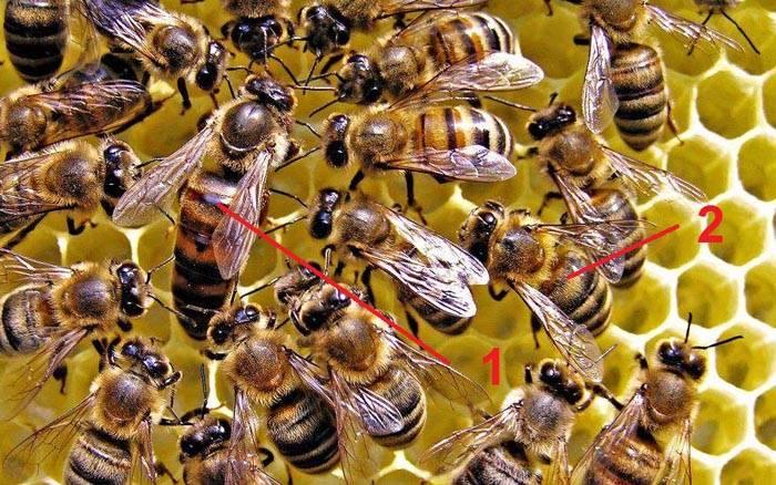 Пчелиные матки (1) крупнее, чем рабочие пчелы (2)