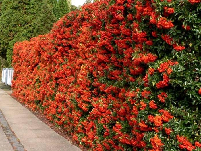 Можно высаживать и цветущие лианы, тогда они весь сезон будут радовать вас обильным цветением