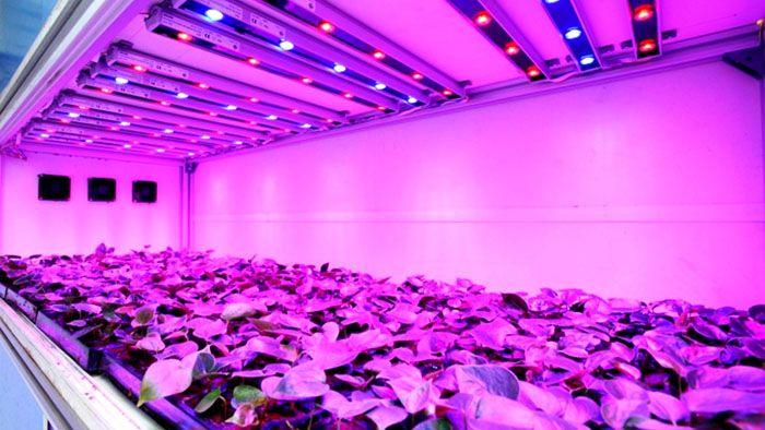 При этом освещении создаются комфортные условия для растущей зелени, и рассада получается крепкой и низкорослой
