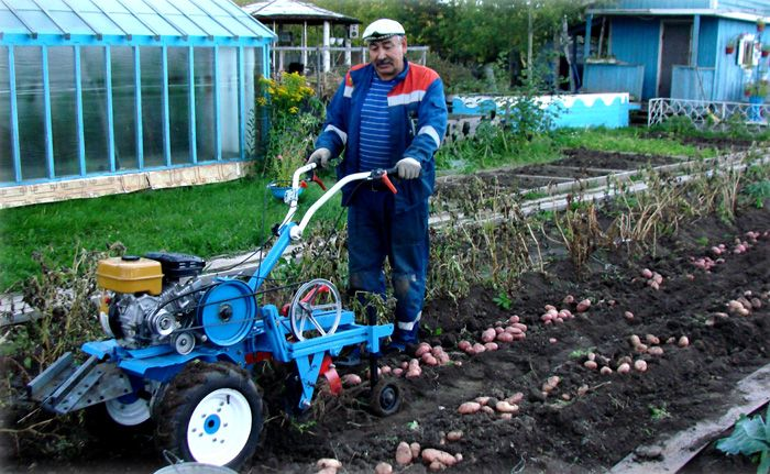 Картофелекопалка аккуратно переворачивает пласт земли и поднимает овощи на поверхность