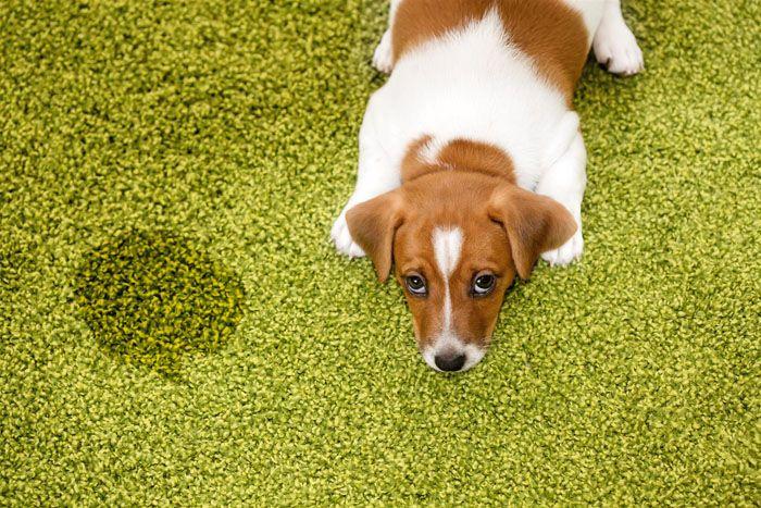 Если ситуация безвыходная, например, вы завели котёнка или щенка, и маленький питомец наделал луж на вашем ковре, приступайте к стирке очень аккуратно