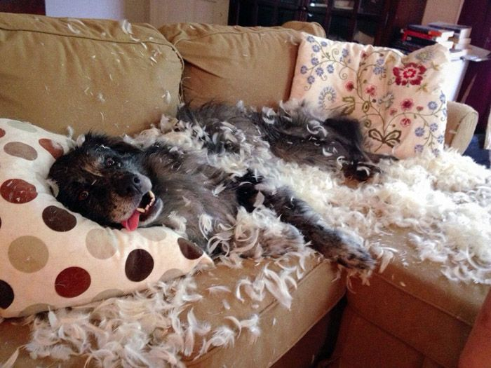 В ваше отсутствие скучающий пёс может превратить в щепки мебель, разорвать вещи и обувь, разбить дорогостоящую аппаратуру