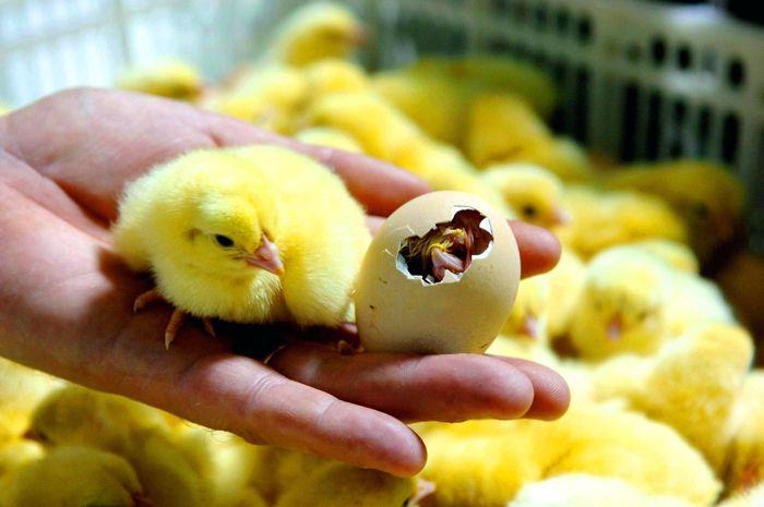 Помните, что стабильный температурный режим и влажность – обязательное условие для получения здорового молодняка птицы