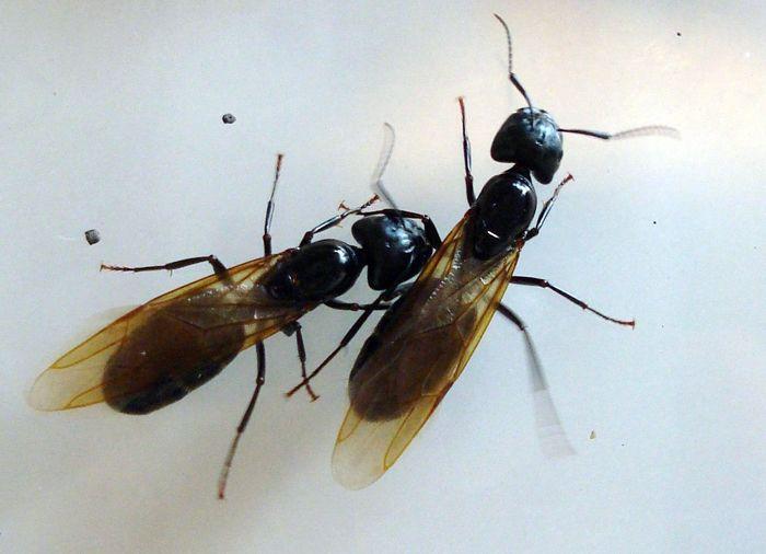 Некоторые муравьи имеют крылья – это самцы и королевы. Крылья появляются у них временно – на период спаривания