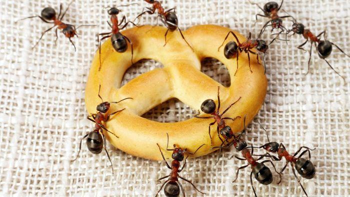 Редко можно встретить домашних муравьёв в жилых комнатах, только если в них не принимают пищу или не разводят комнатные растения