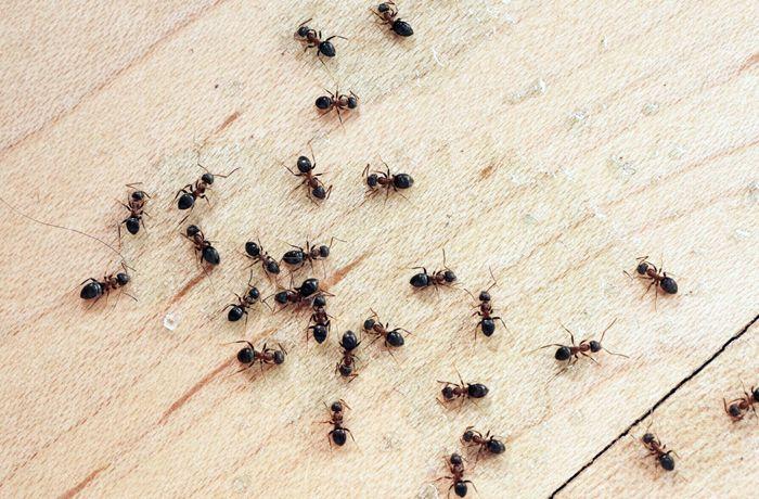 Начните с устранения благоприятных для них условий, найдите место гнезда и приступайте к физическому уничтожению колонии