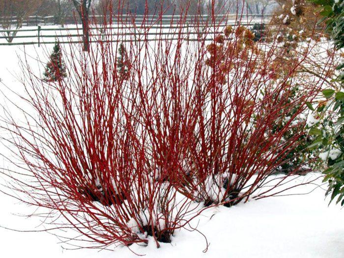 Растения с красными стеблями красиво смотрятся на фоне белого снега