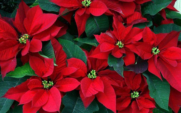 Мексиканский цветок пуансеттия тоже вошёл в рождественскую атмосферу как символ Вифлеемской звезды