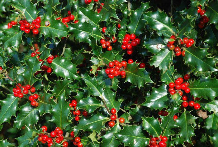 Остролист имеет значение для верующих, если опираться на версии, что из этого растения был венец Спасителя, а белые ягоды на веточках становятся красными от крови Христа