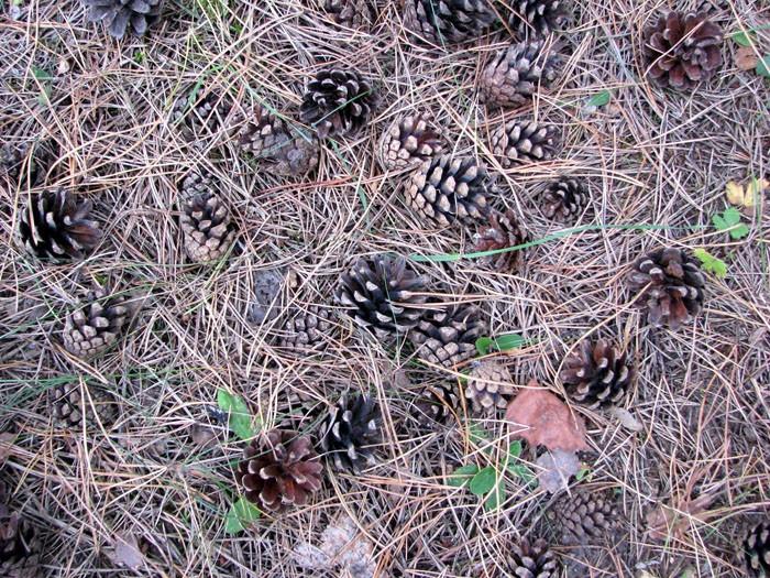 Это бесплатный материал, дарованный природой, которого всегда полно под любым хвойным деревом
