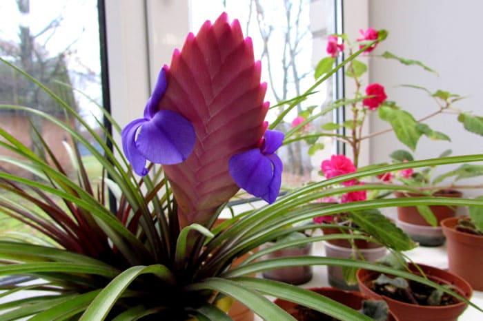 Тилландсия синяя с его ярким колоском, на котором осенью распускаются фиолетово-сиреневые цветки, эффектна
