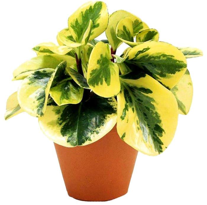 Пеперомия туполистная нуждается в рассеянном свете из-за светлых листьев
