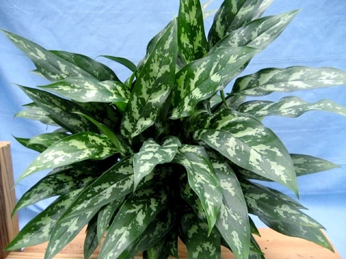 Аглаонема переменчивая с многочисленными сортами подходит многим: разные листья по форме и окрасу, с наличием или отсутствием пятен или полосок