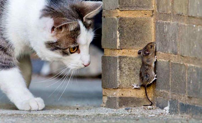 Не все породы кошек активны в отношении мышей. Коты тоже реже охотятся на мышей, чем кошки, хотя многое зависит от характера питомца