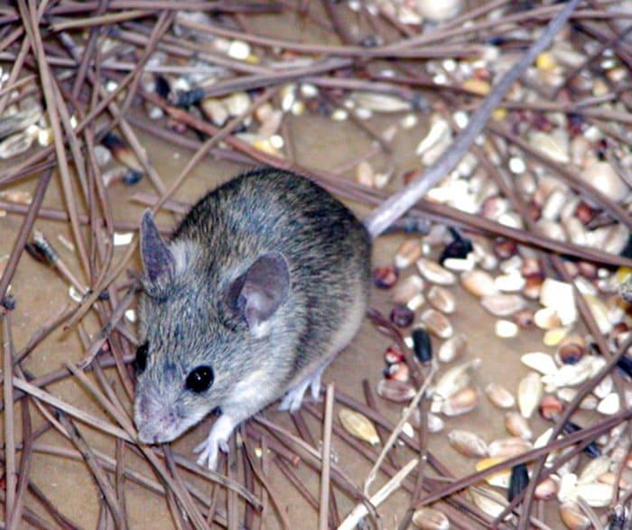 Маленький размер позволяет проникнуть мыши в любое местечко