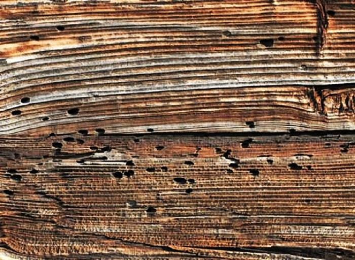 Дерево, изъеденное древоточцами