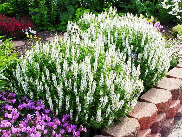 Красивое цветение начинается в июне и заканчивается в начале осени