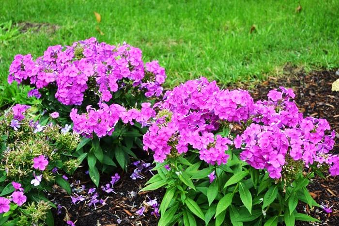 Период цветения каролинского флокса очень длительный, это отличный многолетник для дачи, цветущий всё лето