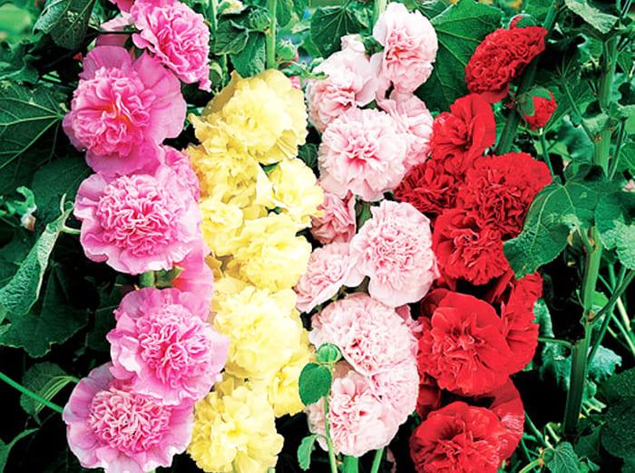 Цвести растение будет с июня и до конца сентября