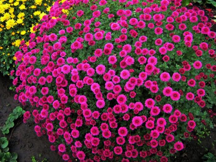 Осенние краски хризантемы садовой кустовой