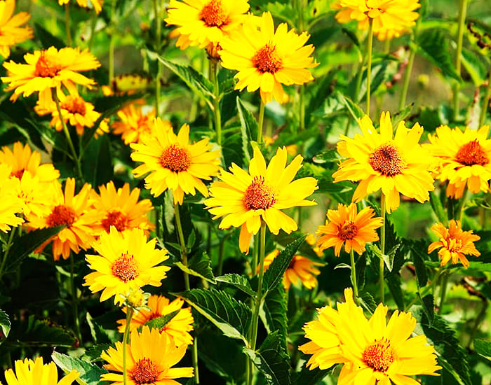 Яркие солнышки для сада: кореопсис