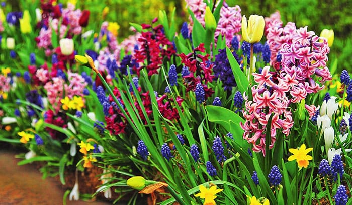 Из одних луковичных можно создать небольшую красивую клумбу, главное, не ошибиться со сроками цветения