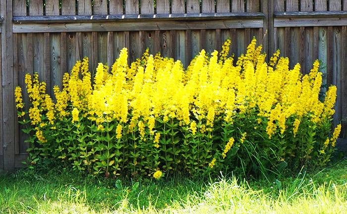 Другим красивым крепким цветком является вербейник. Это уже другие оттенки жёлтого, торчащие вверх, словно горящие свечи