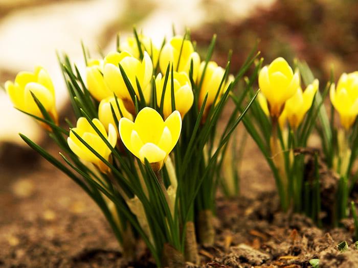 Интересные фото и названия ранних весенних цветов