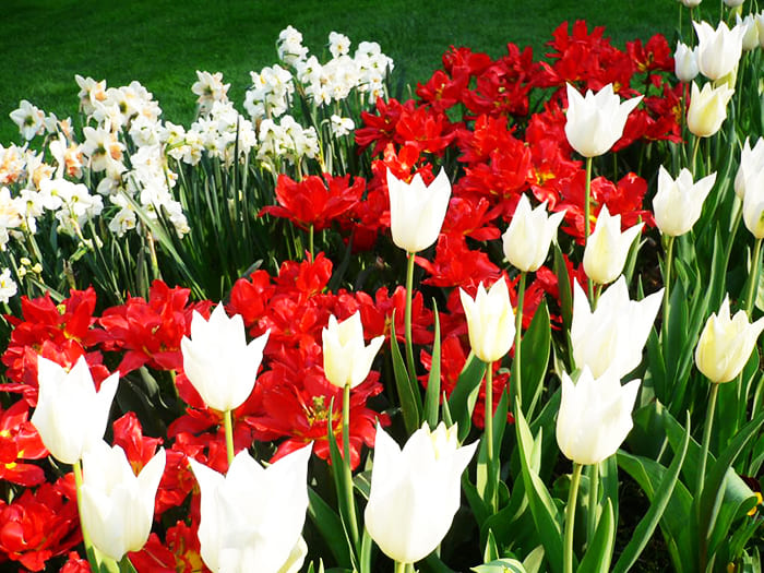 Совсем скоро появятся тюльпаны, нарциссы, гиацинты, разновидности ирисов